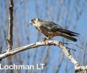 Falco longipennis - Australian Hobby  LLO-560 © Jiri Lochman LT