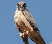 Falco longipennis - Australian Hobby  LLO-568 © Jiri Lochman LT
