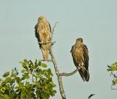Haliastur sphenurus Whistling Kite LLH-698 © Jiri Lochman Transparencies