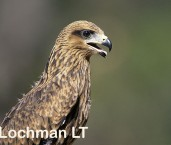 Milvus migrans - Black Kite LDY-344 ©Jiri Lochman LT