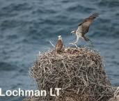 Pandion haliaetus - Osprey LLO-581 © Jiri Lochman LT
