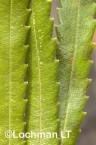 Banksia attenuata Candle Banksia ACD-932 ©Marie Lochman - Lochman LT
