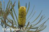 Banksia attenuata Candle Banksia AFD-591 ©Marie Lochman - Lochman LT