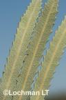Banksia attenuata Candle Banksia AFD-596 ©Marie Lochman - Lochman LT