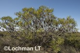 Banksia attenuata Candle Banksia AFD-597 ©Marie Lochman - Lochman LT