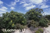 Banksia attenuata Candle Banksia ALY-567 ©Marie Lochman - Lochman LT