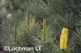 Banksia attenuata Candle Banksia FFY-516 ©Marie Lochman - Lochman LT