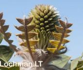 Banksia baxteri Baxter's Banksia LLO-230 ©Jiri Lochman - Lochman LT