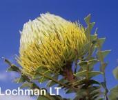 Banksia baxteri LEY-830 ©Jiri Lochman - Lochman LT