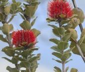 Banksia coccinea LLO-504 ©Jiri Lochman