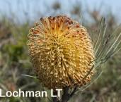 Banksia leptophylla AFD-719 ©Marie Lochman - Lochman LT