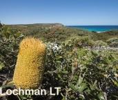 Banksia media Southern Plains Banksia AFD-643 ©Marie Lochman - Lochman LT