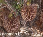 Banksia nutans Nodding Banksia ACD-628 ©Marie Lochman - Lochman LT