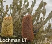 Banksia petiolaris AFD-661 ©Marie Lochman - Lochman LT