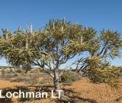 Banksia prionotes Acorn Banksia AFD-743 ©Marie Lochman - Lochman LT