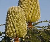 Banksia speciosa-SHOWY BANKSIA ABD-577 © Lochman Transparencies
