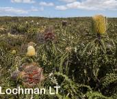Banksia speciosa Showy Banksia AFD-712 ©Marie Lochman - Lochman LT