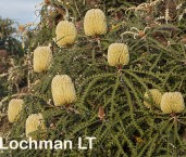 Banksia speciosa Showy Banksia LLO-398 ©Jiri Lochman - Lochman LT