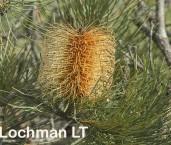 Banksia tricuspis Pine Banksia AED-110 ©Marie Lochman - Lochman LT