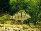 Amniataba percoides -Banded Grunter GSY-039 ©Gunther Schmida - Lochman LT