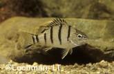 Amniataba percoides -Striped Grunter GSY-354 ©Gunther Schmida - Lochman LT