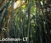 Curtain Fig - Ficus microcarpa