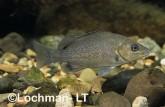 Hephaestus fuliginosus Sooty Grunther GSY-357 ©Gunther Schmida - Lochman LT