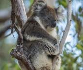 Koala LLO-781 ©Jiri Lochman - Lochman LT