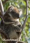 Koala LLO-782 ©Jiri Lochman - Lochman LT