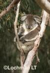 Koala LLO-783 ©Jiri Lochman - Lochman LT