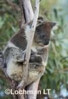 Koala LLO-784 ©Jiri Lochman - Lochman LT