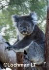 Koala LLO-785 ©Jiri Lochman - Lochman LT