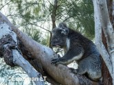 Koala LLO-786 ©Jiri Lochman - Lochman LT