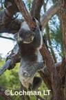 Koala LLO-788 ©Jiri Lochman - Lochman LT