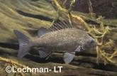 Variichthys lacustris - Lake Grunter GSY-363 ©Gunther Schmida - Lochman LT