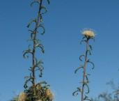 Banksia-Dryandra kippistiana AFD-920 ©Marie Lochman - Lochman LT