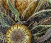 Banksia-Dryandra nivea - Honeypot  AFD-931 ©Marie Lochman - Lochman LT