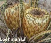 Banksia-Dryandra nivea - Honeypot  AFD-932 ©Marie Lochman - Lochman LT