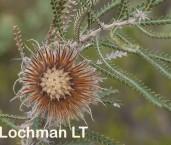 Banksia-Dryandra shuttleworthiana Bearded Dryandra LLO-667 ©Jiri Lochman - Lochman LT
