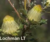 Banksia-Dryandra undata Urchin Banksia AFE-005 ©Marie Lochman - Lochman LT