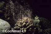 Hard coral spawning at Ningaloo Reef - Detail of spawn being rel