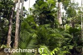 Mission Beach - Licuala lowland rainforest