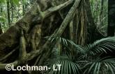 Paluma Range NP - rainforest tree XPY-544 ©Jiri Lochman - Lochman LT
