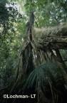 Paluma Range NP - rainforest tree XPY-546w ©Jiri Lochman - Lochman LT