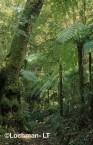 Qld-Lamington NP - subtropical rainforest AWY-435w ©Marie Lochman - Lochman LT