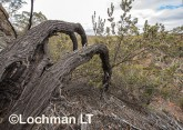 Banksia-Dryandra arborea Yilgarn Dryandra AFD-749 ©Marie Lochman - Lochman LT