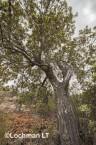 Banksia-Dryandra arborea Yilgarn Dryandra AFD-750 ©Marie Lochman - Lochman LT