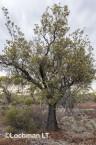 Banksia-Dryandra arborea Yilgarn Dryandra AFD-751 ©Marie Lochman - Lochman LT