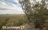 Banksia-Dryandra arborea Yilgarn Dryandra - Helena Aurora Range AFD-752 ©Marie Lochman - Lochman LT