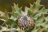 Banksia-Dryandra arborea Yilgarn Dryandra LLO-421 ©Jiri Lochman - Lochman LT